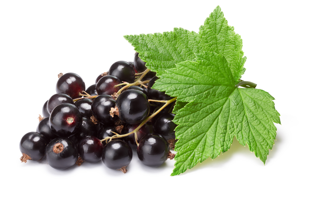 Feuille de cassissier - black currant leaf • synof France